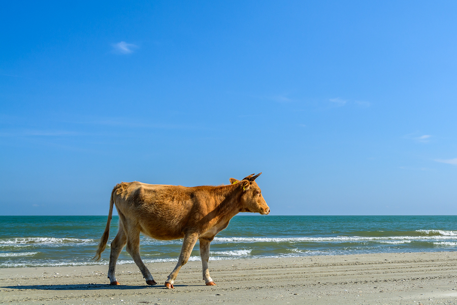 One Cow Spotted Walking On A Sandy Beach. Horizontal View Of A C