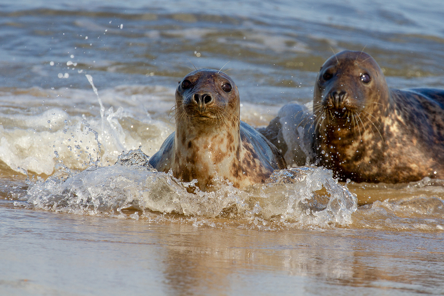 Seals at the Seal Colony on the beach at Horsey, Norfolk, UK