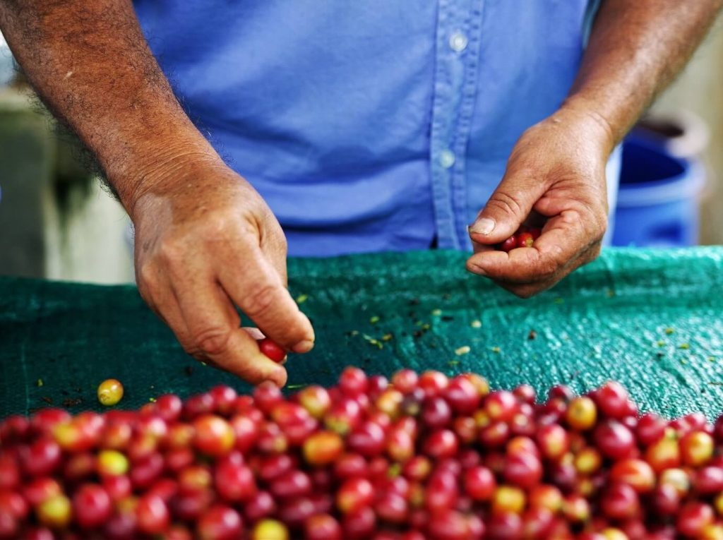 Raw harvested coffee beans.