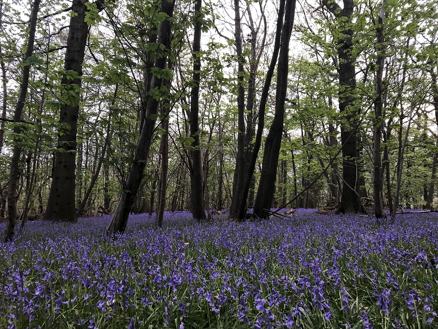 Bluebells in English Woods.